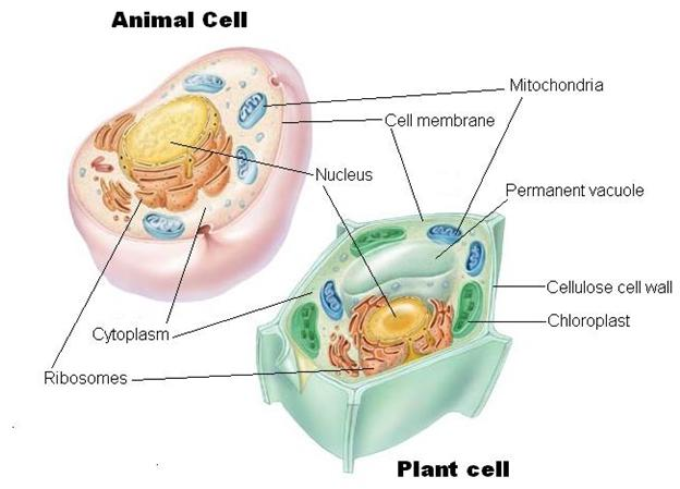 Cells tissues and organs dr randall science ccuart Choice Image